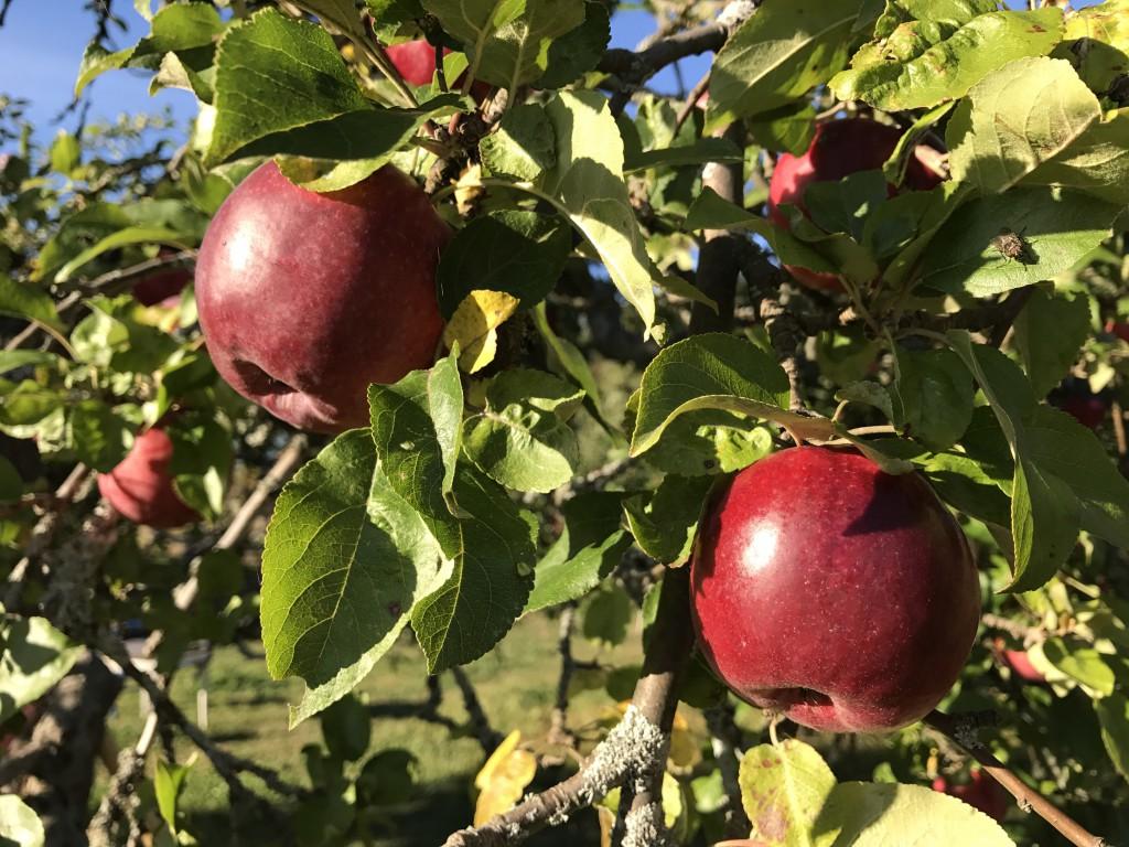 Äppelträd Rosenhill