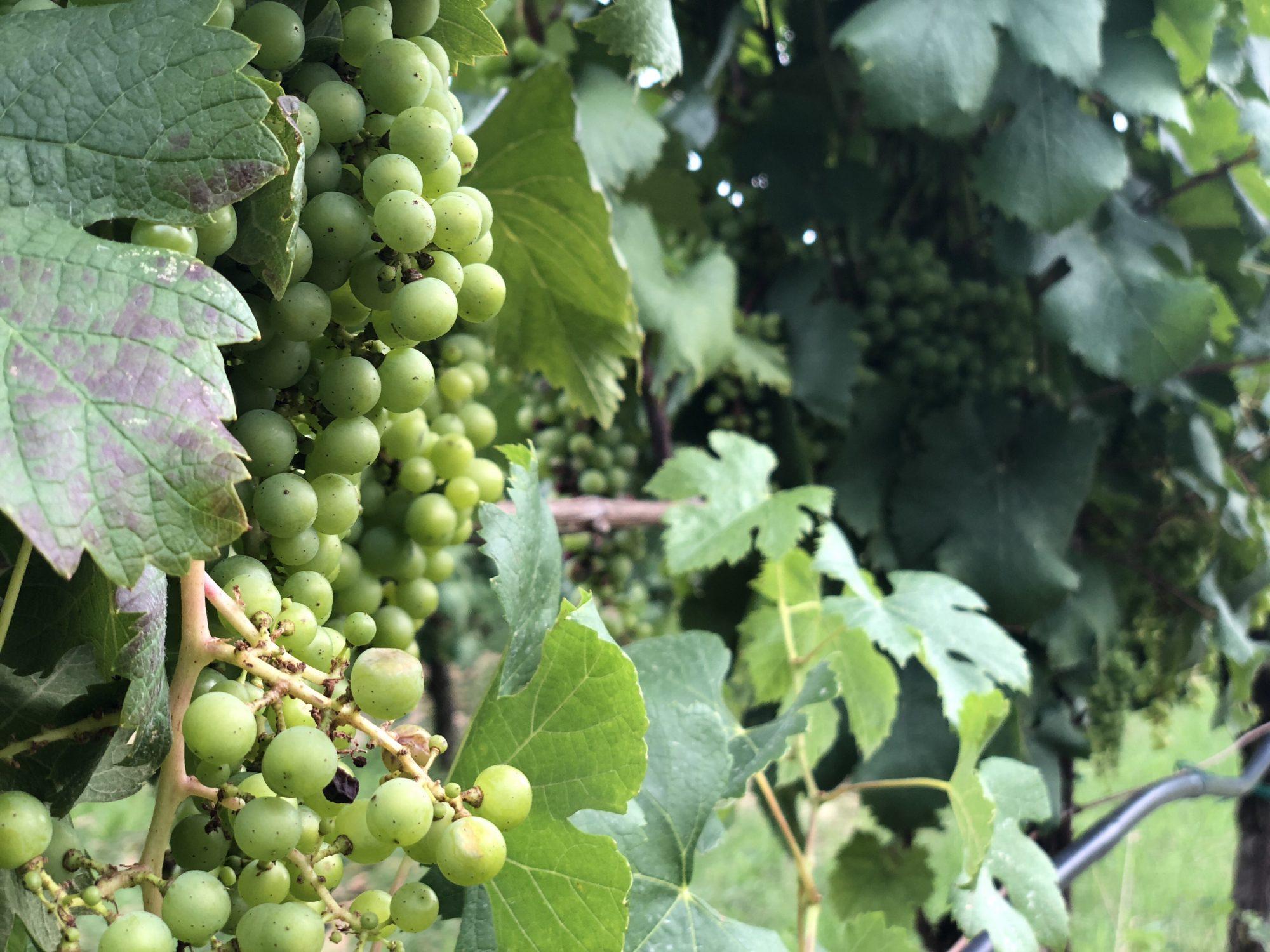 Vinprovning i Dubravka