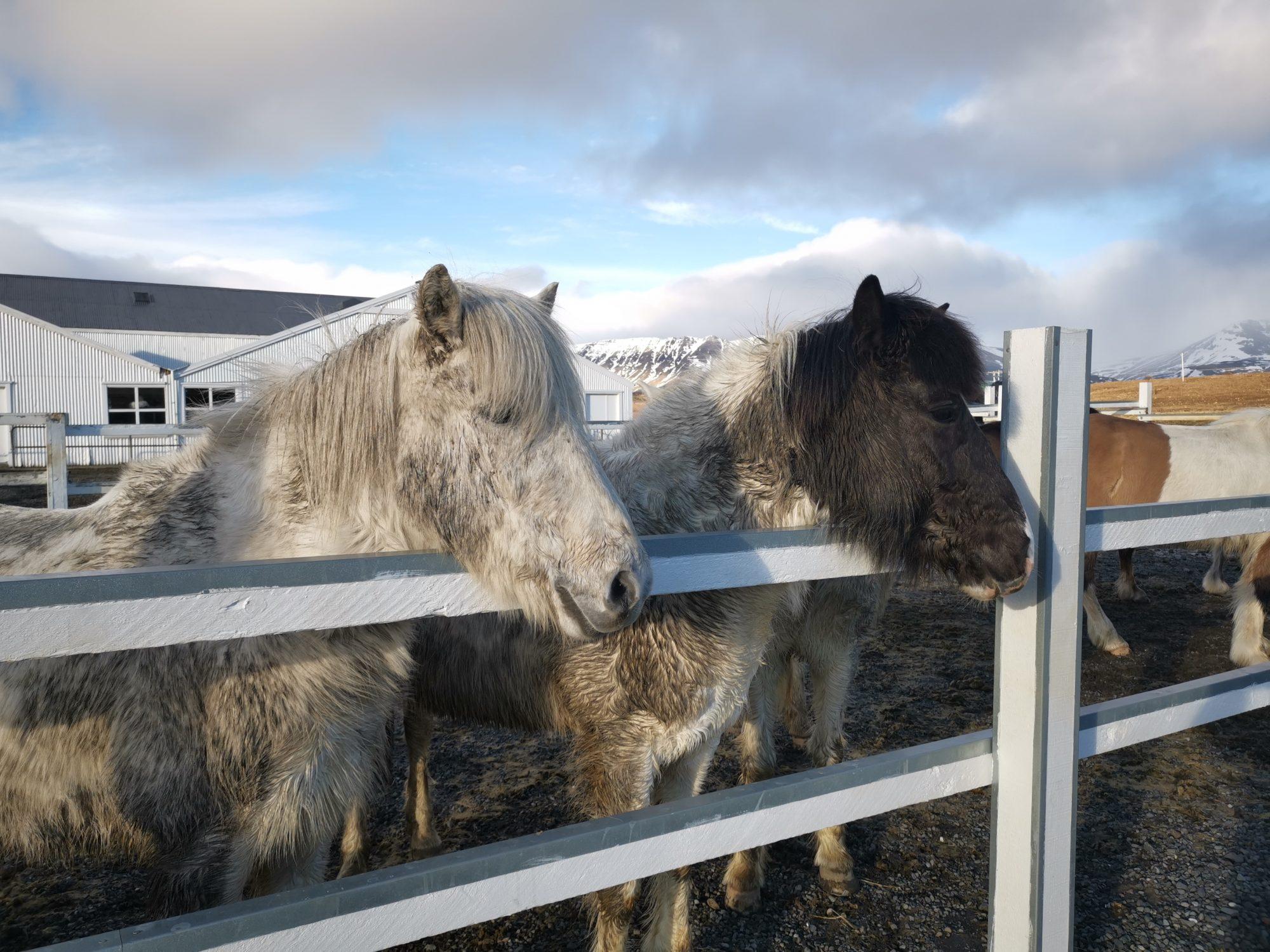 Laxness Horse Farm