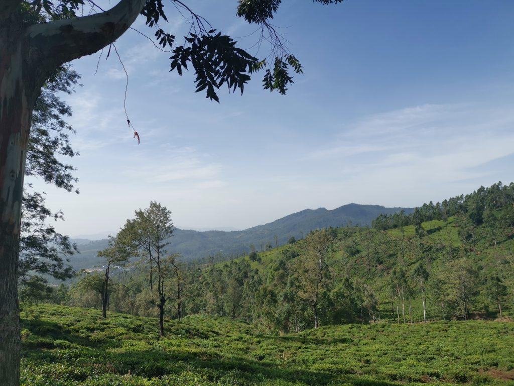 Teodlingar på Sri Lanka