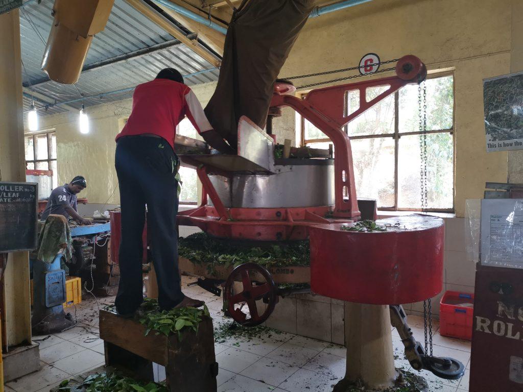 Hur tillverkas te? Rullning