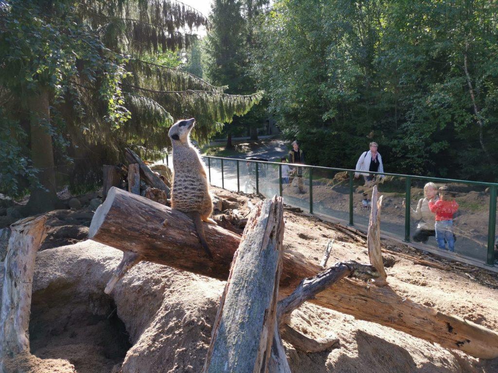 Guidad visning hos surikaterna