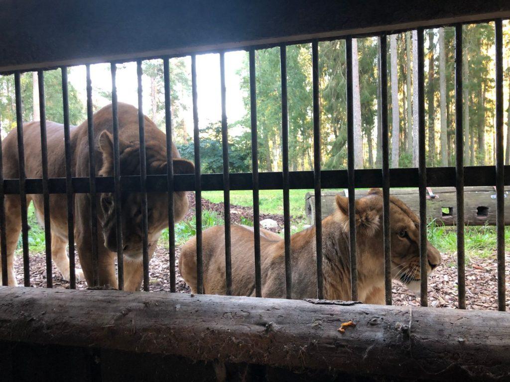 Safari Camp på Kolmården Lejonbesök