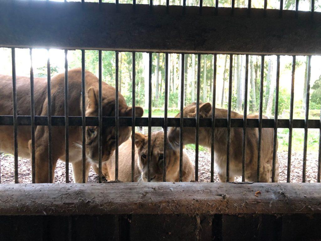 Lejonmöte på Kolmården