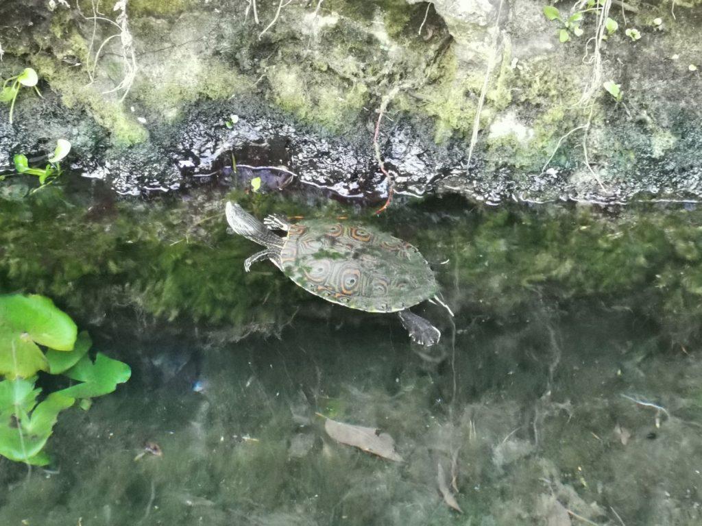 Sköldpadda i Gran Cenote