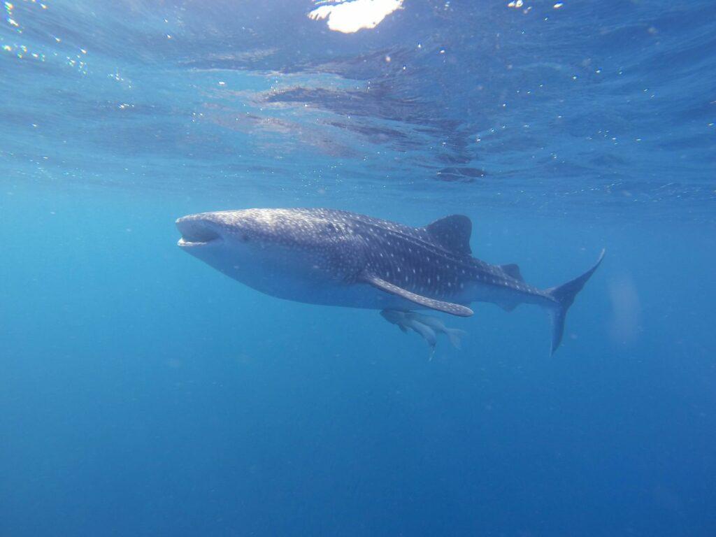Dykning i Maldiverna